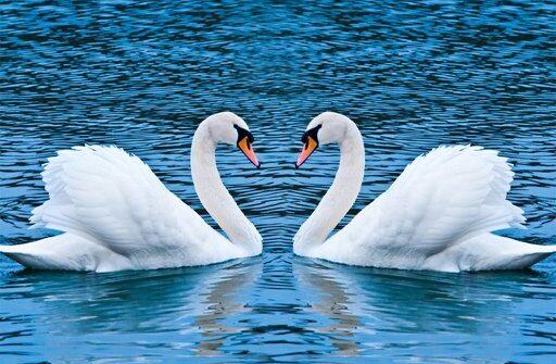 swans slide